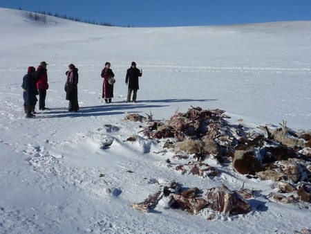 Rebanhos animais mongóis estão sendo reduzidos em 10% a cada semana. Imagem courtesia do Cambridge Mongolia Development Appeal.
