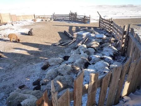 O severo inverno e a falta de alimentos para os animais estão levando o gado na Mongólia a perecer. Imagem courtesia do Cambridge Mongolia Development Appeal.