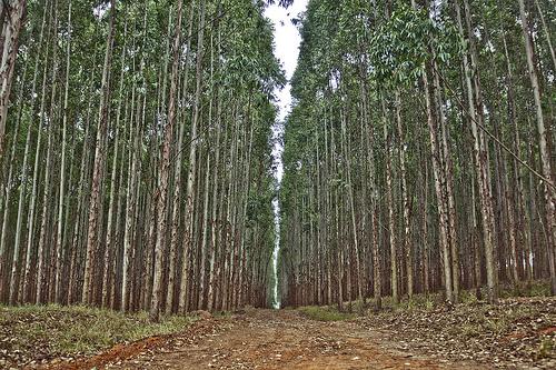 Fazenda de eucalipto em agudos