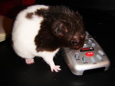 """Hamster tentando utilizar o controle remoto."" Foto por blackpawn. (CC BY-NC-SA 2.0)"
