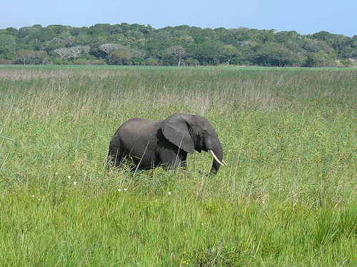 Elephant at the Natural Reserve of Maputo. Photo by Leandro's World Tour on Flickr (CC BY 2.0)