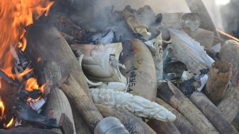 Incineração de cornos de rinoceronte e dentes de marfim de elefantes, levada a cabo pelas autoridades moçambicanas. Foto Carlos Serra.