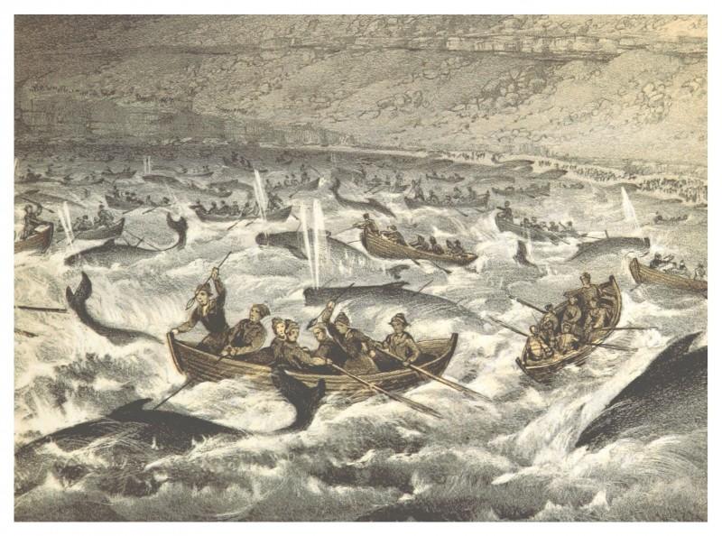 """Caça à Baleia tradicional. Imagem retirada do livro """"O barco Maria nas Ilhas Faroé no Verão de 1854"""" Foto: Domínio Público/ British Library"""